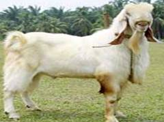 Goat types and selection of breed