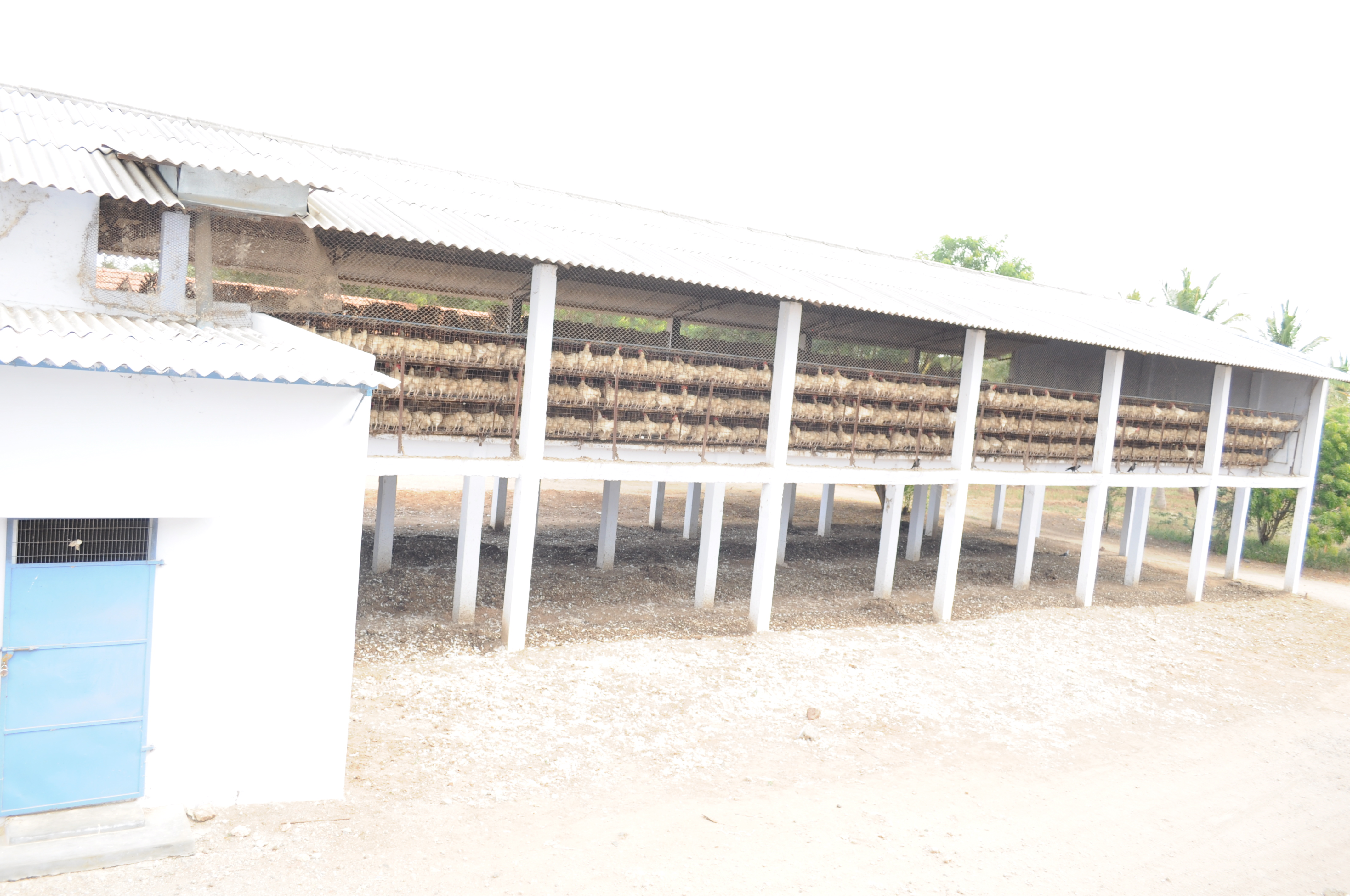 Poultry Chicken System Of Poultry Rearing
