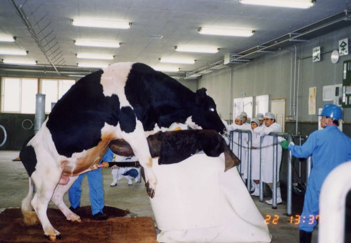 Cattle Artificial Insemination