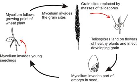 Tnau agritech portal crop protection life cycle of ustilago tritici ccuart Image collections