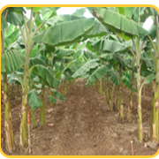 Plantain Propping: Importance and Methods