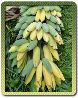 Banana Expert System