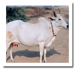 Breeds of cattle and buffalo