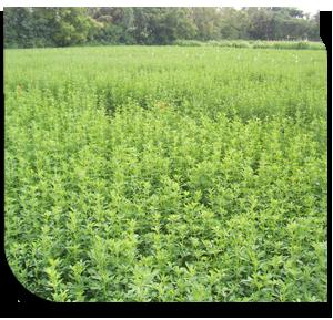 fodder crops in india pdf