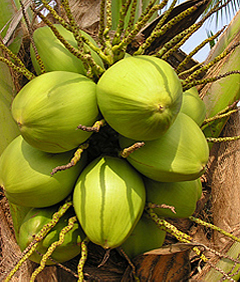Knowledge Based Information on Coconut :: Coconut Varieties
