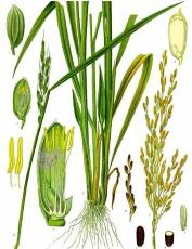 Botany of Paddy