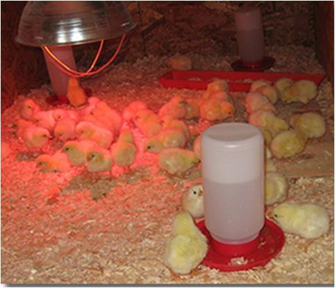 Brooding of Chicks
