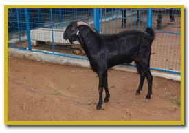 Breeding Management of Sheep and Goat