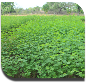 Fodder Production For Sheep And Goat