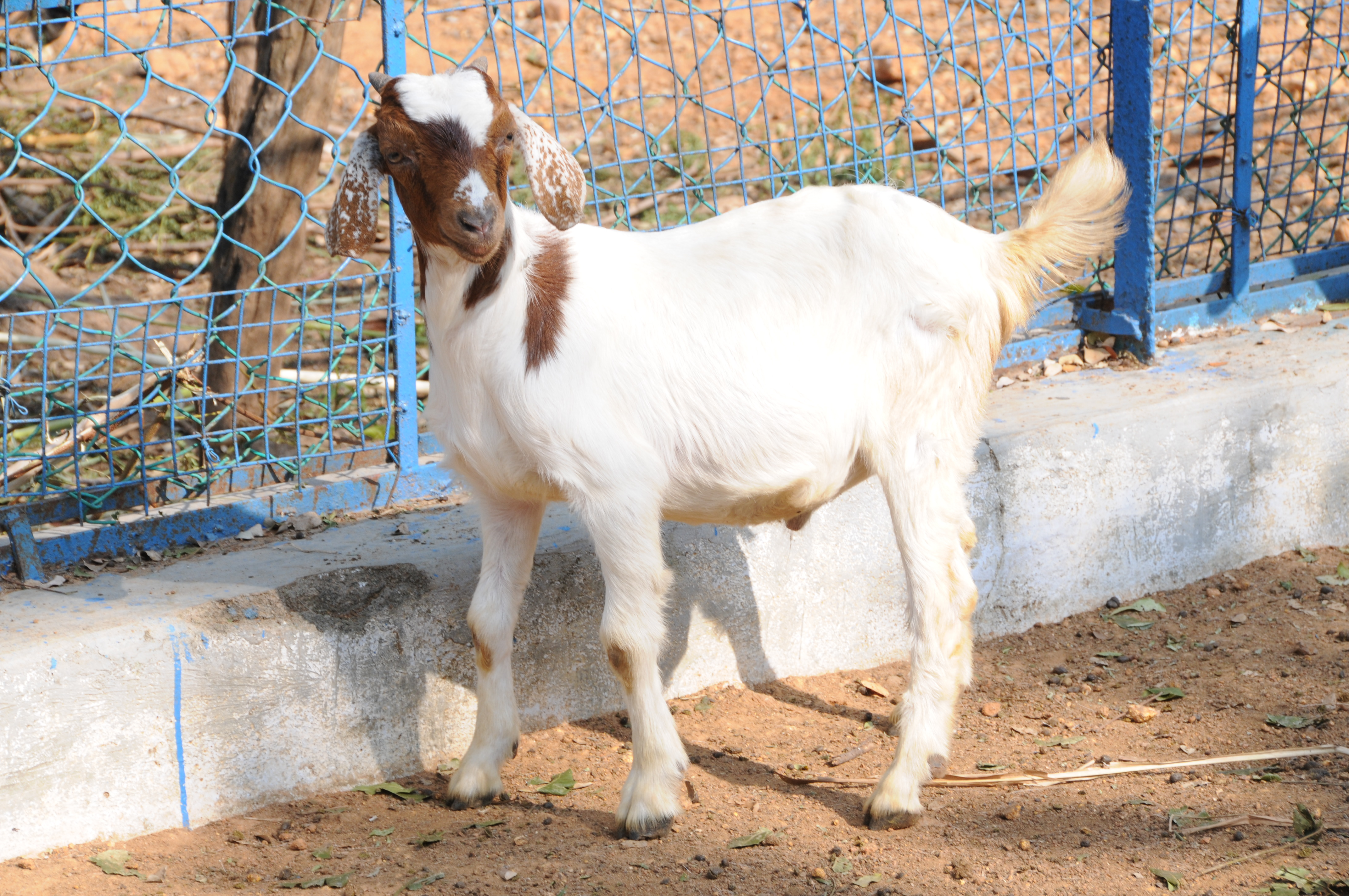 e99b240c7f1 Housing of sheep and goats