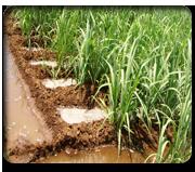 Expert System for Sugarcane