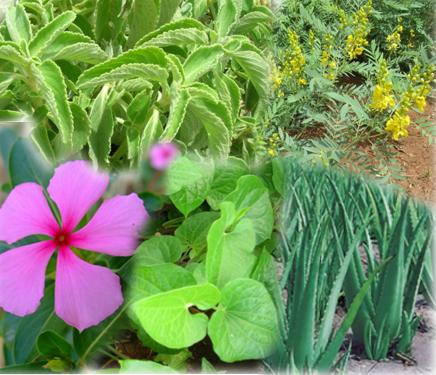 Horticulture ::medicinal crops
