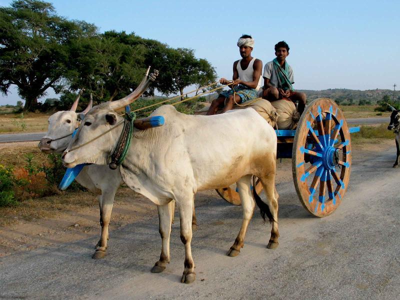 Pulling bull