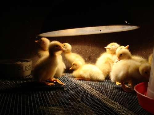 Incubator_duck_brooding