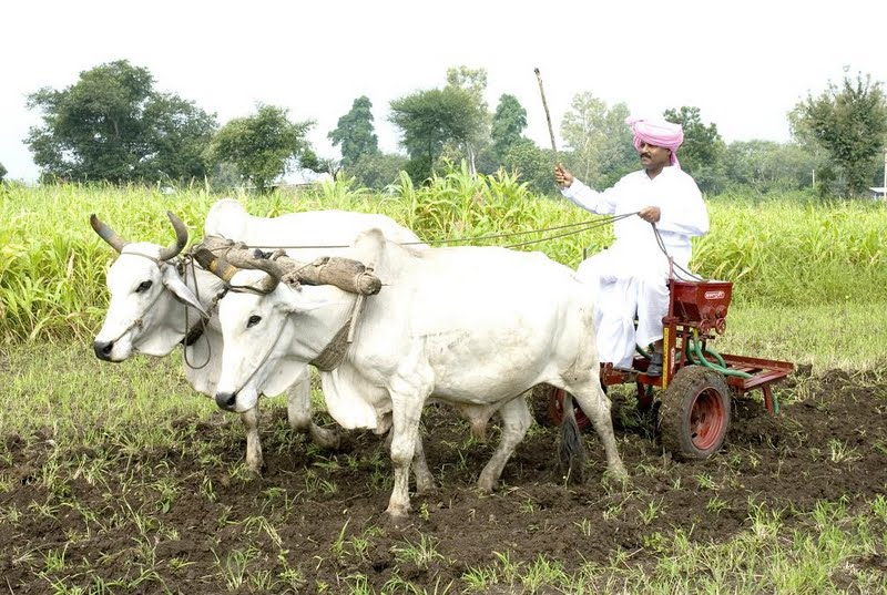 Ploughing bull
