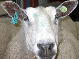 Goat_tagging