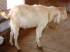 Goat_Breed_jamunaPuri