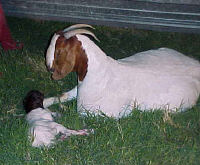 Goat_Cleaning_Kid