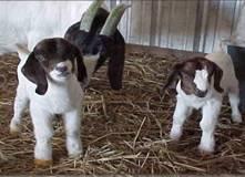 Goat_kids
