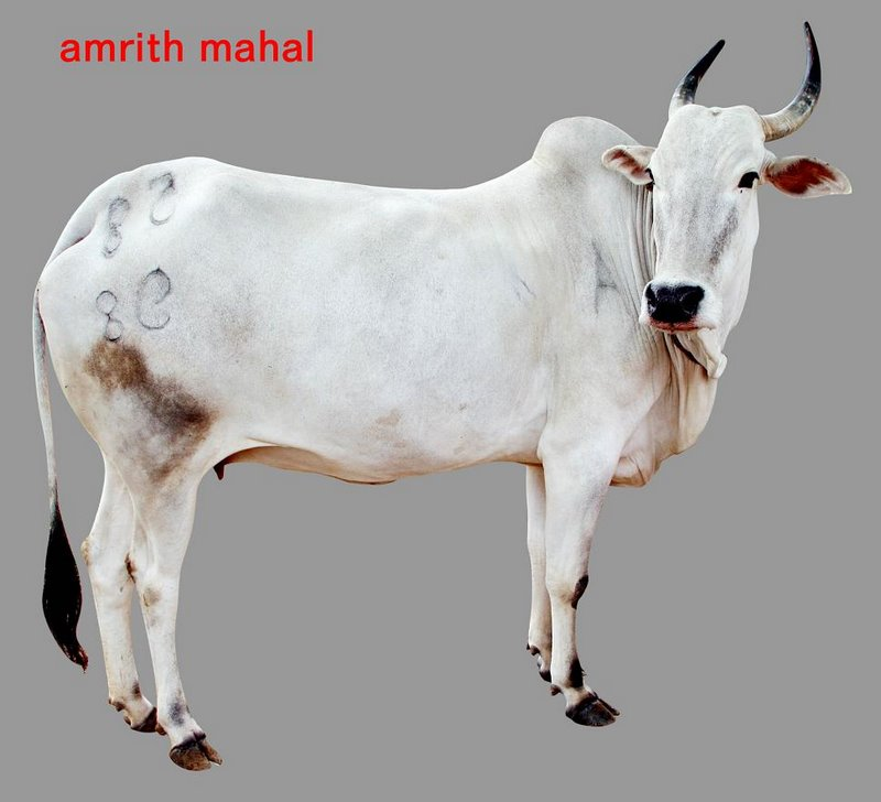 amritmahal breed