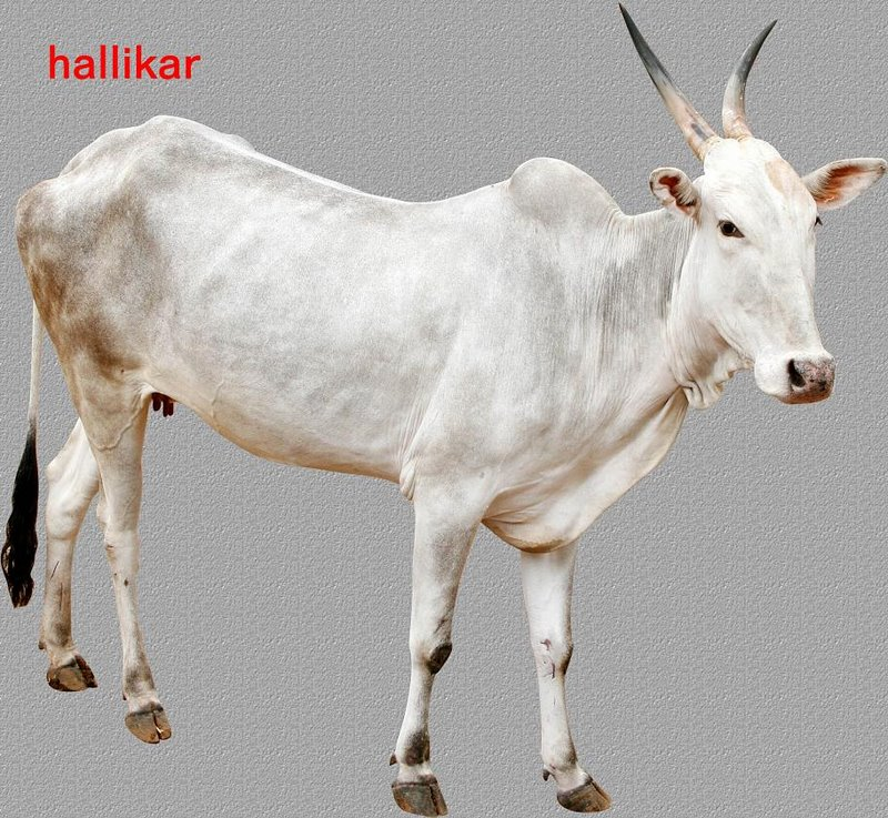 hallikar_breed