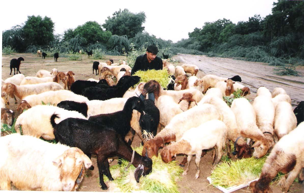 Goat_feeding